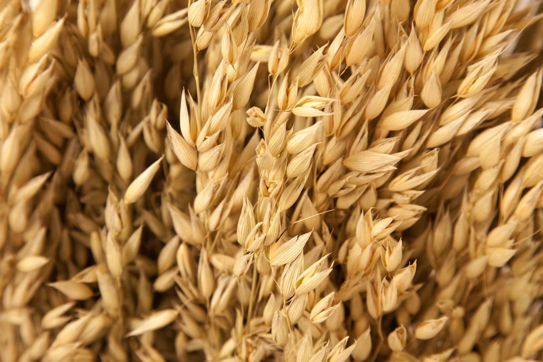 field of oats photo