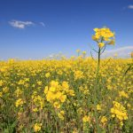 Canola | Plant Protein Alliance of Alberta PPAA