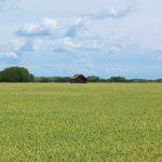 Pea field, Plant Protein Alliance of Alberta